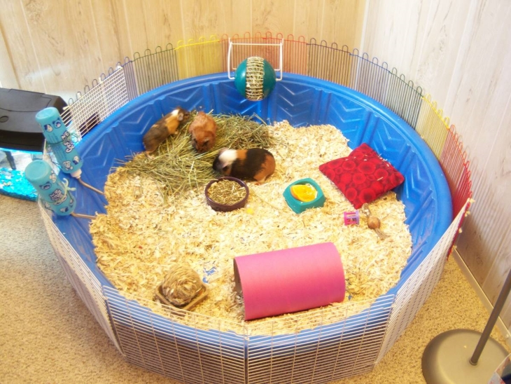 kiddie-pool-guinea-pigs